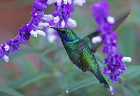 Colibri thalassin copie 1